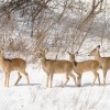 Winter Mortality and White-tail Deer
