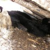 Where Did They All Go ?…Black Bear Winter Denning